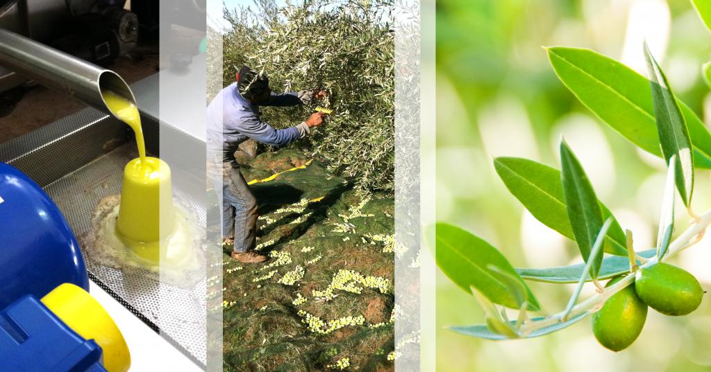 Le moulin du Domaine Arije est un des seuls de ce type actuellement au Maroc  -  Cueillette à la main dans le respect du fruit / Domain Arije olive oil mill is currently the only one of its kind in Morocco - Olives are handpicked to preserve their natural qualities